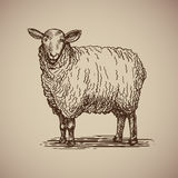 Sheep in sketch style. Vector illustration livestock drawn by hand. Farm animals on gray background Stock Photos