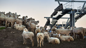 Sheep and ski lift Royalty Free Stock Image