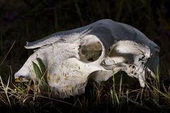 Sheep skull Royalty Free Stock Photos