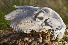 Sheep skull Royalty Free Stock Photo