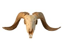 Sheep skull Stock Image