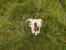 Sheep skull on grass. Sheep skull in isolation laid on grass and odd little flowers and other foliage around stock photos