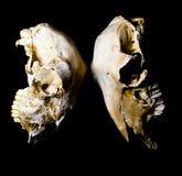 Sheep Skulls Stock Photos