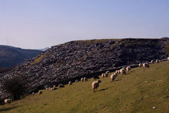 Sheep and Slate Stock Photography