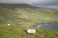 Sheep on Slea Head, Dingle Peninsula Stock Images