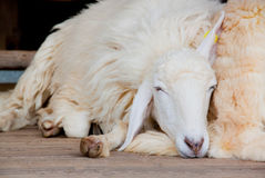 Sheep sleeping Stock Images