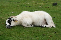 Sheep sleeping Stock Photography