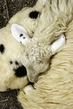 Sheep sleeping. In the farm royalty free stock photo