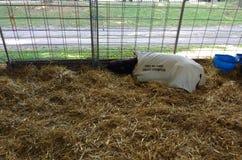 Sheep Sleeping in the Hay at a County Fair, Pennsylvania, USA Stock Photos