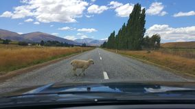 Sheep sleeps right on the middle of New Zealand highway. stock images