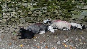 Sheep sleeping by wall Royalty Free Stock Photo