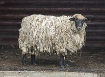Sheep and small ewe in wooden barn window stock photography