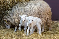 Sheep with lamb, easter symbol stock image