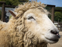 Sheep smile marco Stock Photography