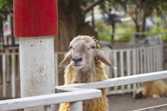 Sheep. Smile sheep in smile farm Royalty Free Stock Photo