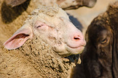 Sheep smiling - Close up Stock Images