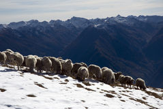 Sheep in the snow. A little flock of sheep in mountain landscape with first snow Stock Photos
