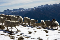 Sheep in the snow. A little flock of sheep in mountain landscape with first snow Royalty Free Stock Images