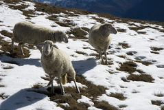 Sheep in the snow. A little flock of sheep in mountain landscape with first snow Stock Photography