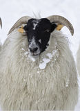 Sheep in snow Royalty Free Stock Photos