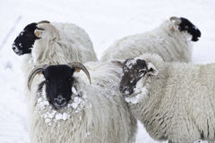 Sheep in snow. Sheep standing outside in the cold snow Stock Photography