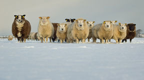 Sheep in Snow. Flock of curious sheep in a snowy winter field, taken from a low point of view Royalty Free Stock Photos