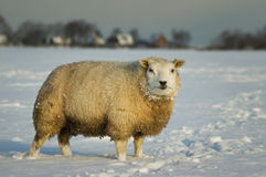 Sheep in snow. Sheep standing in a snowy winter meadow, beautifully lit in soft morning light, landscape format Stock Photos