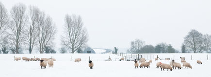 Sheep In Snow Stock Photos