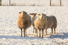 Sheep in snow. Group of sheep standing in the snow covered meadow, looking into the camera Stock Image