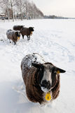 Sheep in snow. Four sheep standing in the snow in a dutch meadow Royalty Free Stock Photography