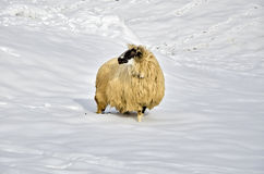 Sheep in the snow Royalty Free Stock Image