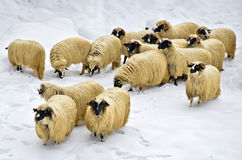 Sheep in the snow. A flock of purebred domestic fleecy sheep in the snow Stock Image