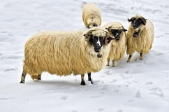 Sheep in the snow. A flock of purebred domestic fleecy sheep in the snow Stock Photos