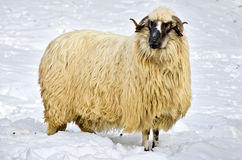 Sheep in the snow. Domestic fleecy sheep in the snow Royalty Free Stock Photography