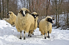 Sheep in the snow. A flock of purebred domestic fleecy sheep in the snow Royalty Free Stock Photos
