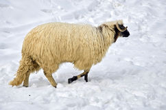 Sheep in the snow. Purebred domestic fleecy sheep in the snow Stock Image