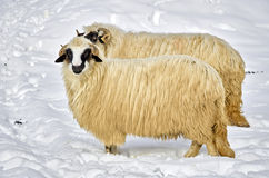 Sheep in the snow. Two purebred domestic fleecy sheep in the snow Stock Photos