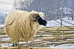 Sheep in the snow. Purebred domestic fleecy sheep in the snow Royalty Free Stock Image