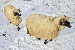 Sheep in the snow. Two purebred domestic fleecy sheep in the snow Stock Photo