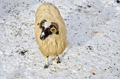 Sheep in the snow. Purebred domestic fleecy sheep in the snow Stock Photography
