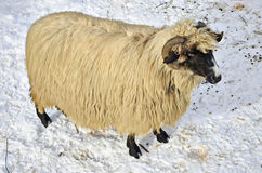 Sheep in the snow. Purebred domestic fleecy sheep in the snow Royalty Free Stock Photo