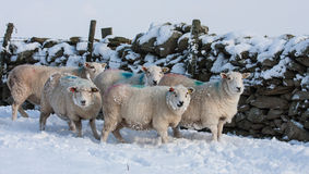 Sheep in snow Stock Photos