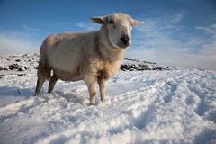 Sheep in snow Royalty Free Stock Image