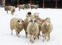 Sheep on snow Royalty Free Stock Images
