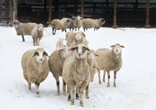 Sheep on snow Stock Image