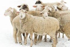 Sheep on snow. Herd of sheep standing on snow on farmland Stock Image
