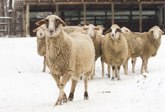 Sheep on snow Royalty Free Stock Photos