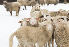 Sheep on snow Royalty Free Stock Photography