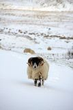 Sheep in the snow. Up in Northumberland's National park Royalty Free Stock Image