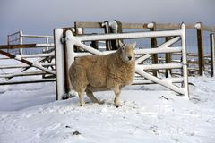 Sheep in the snow. Up in Northumberland's National park Royalty Free Stock Photography